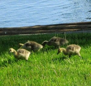 Baby geese by the Mississippi river