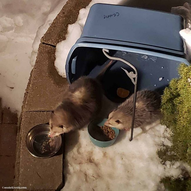 two opossums eating eat food