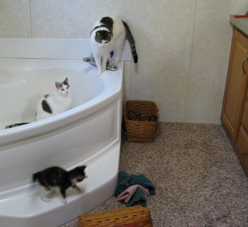 3 cats in the tub