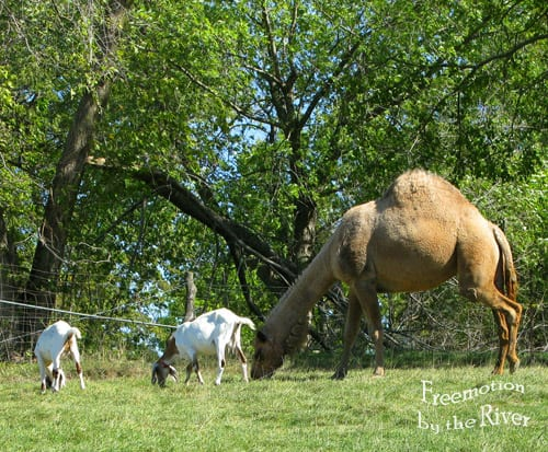 Camel and goats in Cantril Iowa