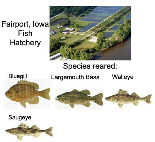 Fairport, Iowa Fish Hatchery - species of fish reared here