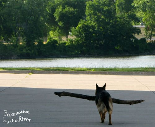 German Shepard dog carrying a huge stick