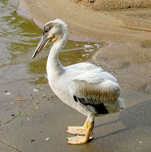 Young White Pelican at Freemotion by the River