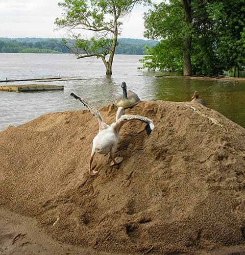 White Pelican climbing up sand pile