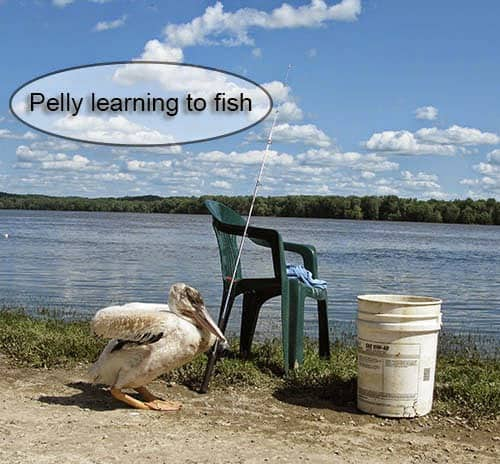 Pelly the Pelican learns to fish