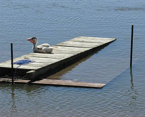 Pelly the Pelican