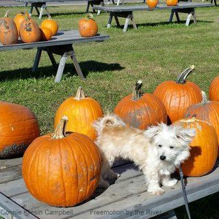 Pumpkins Sadie and Fall Leaves
