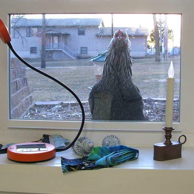 neighbor chicken peeking in the window