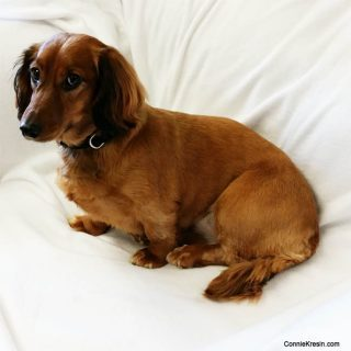 Tasha long haired dachsund