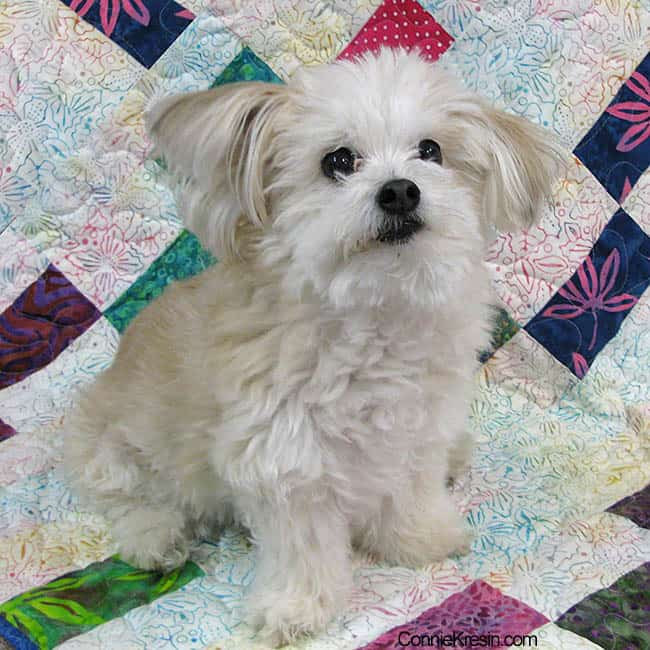Sadie the dog on the quilt