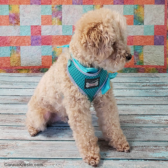 Mr Mickey is a senior miniature apricot poodle whom we just adopted