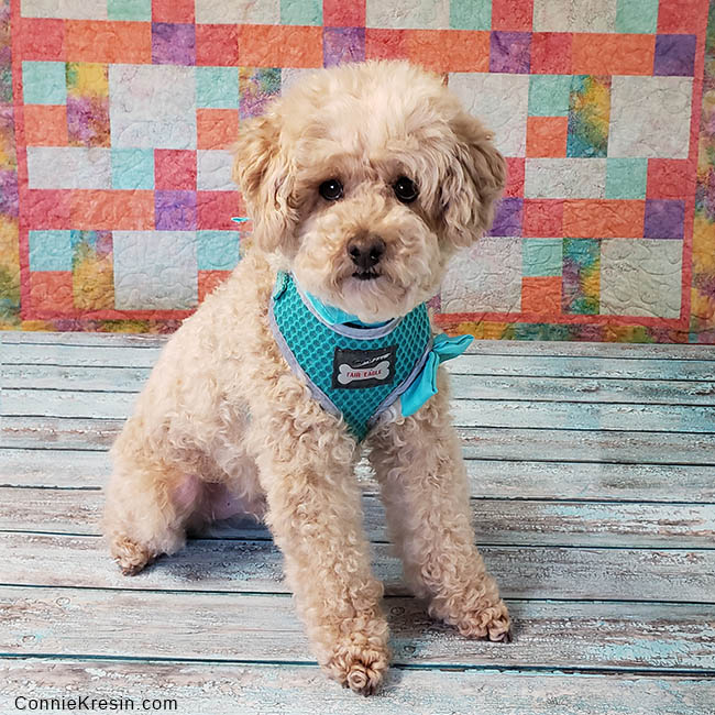 Mr Mickey is a senior miniature apricot poodle