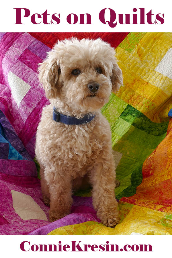 Mr Mickey pets on quilts Miniature apricot poodle