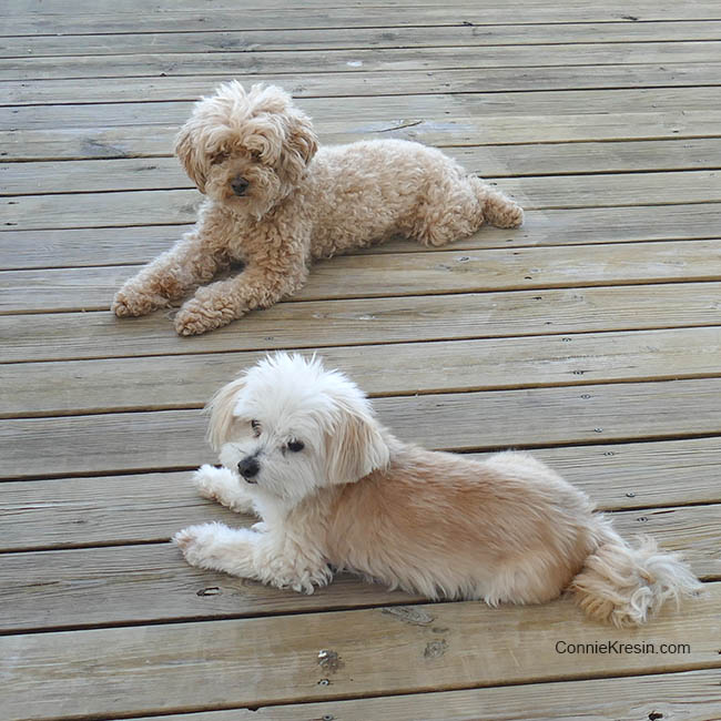 Our dogs before getting haircuts