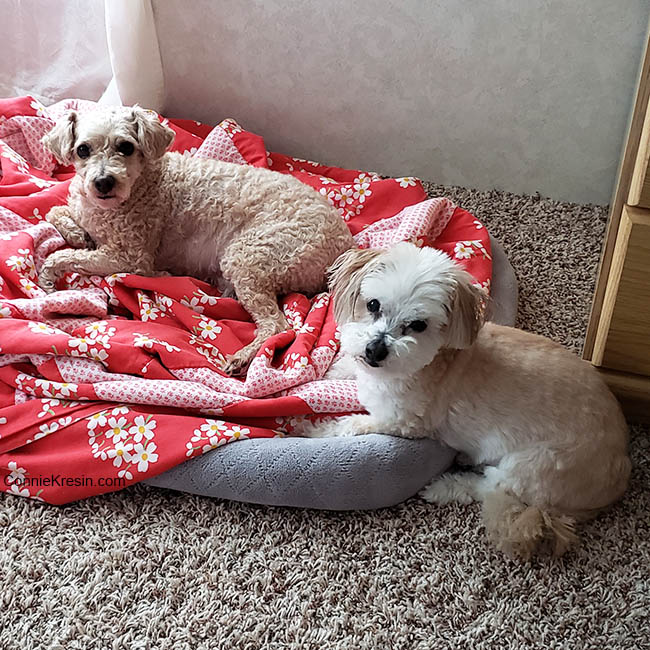 Our dogs after getting haircuts