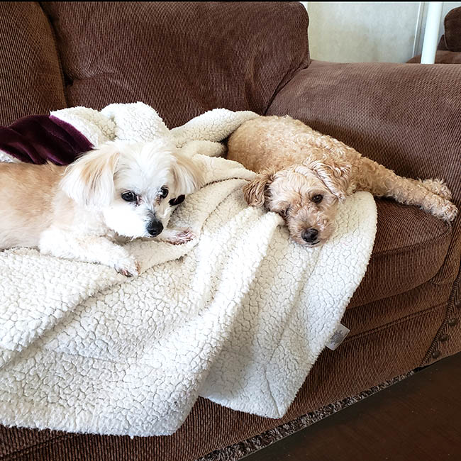 Mickey the poodle and Sadie on the couch