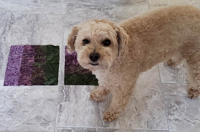 Mickey the poodle standing on quilt blocks