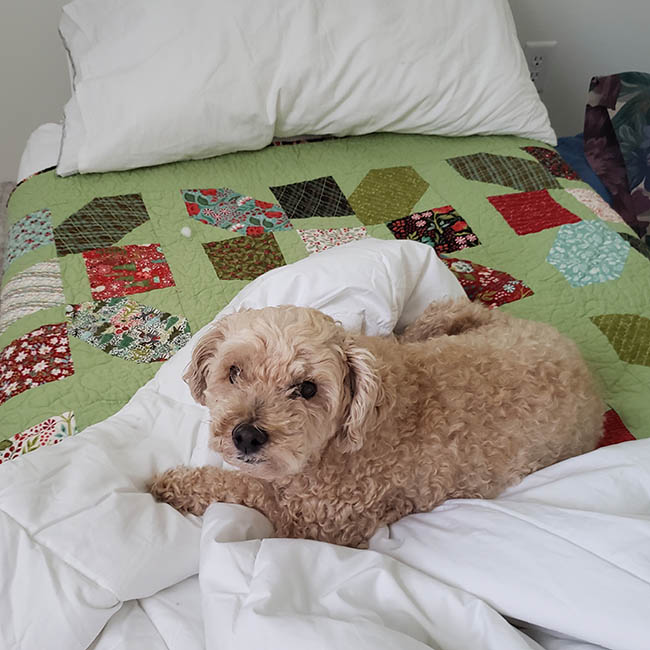 Jolly bar quilt with Mickey the poodle