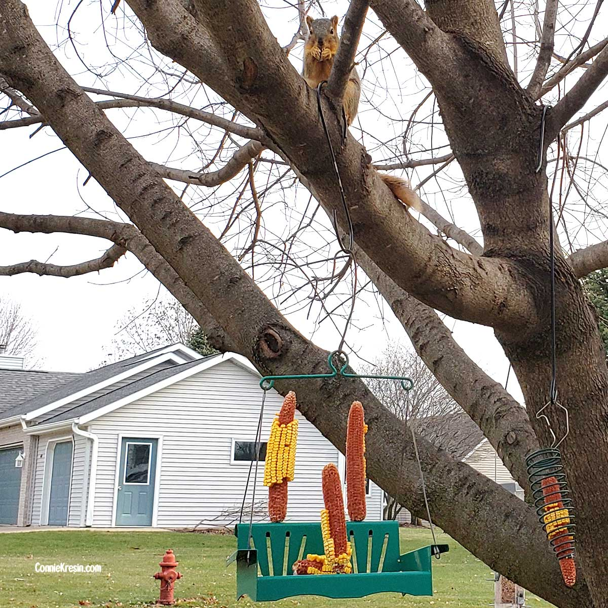 Squirrel eating corn in tree