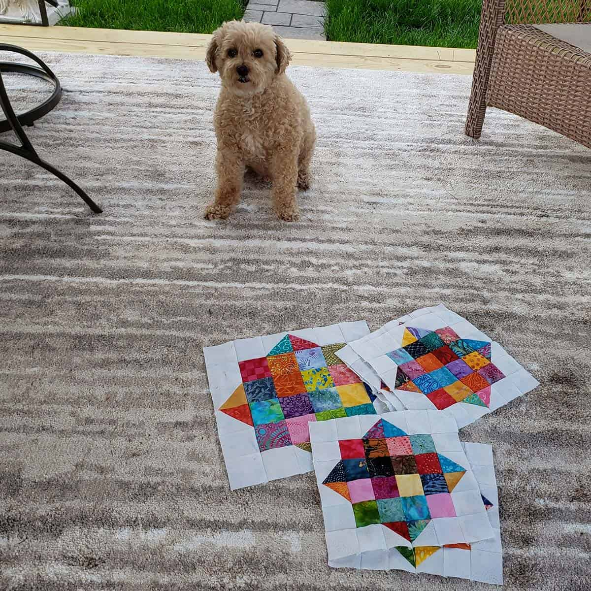 Mickey the poodle with the quilt blocks