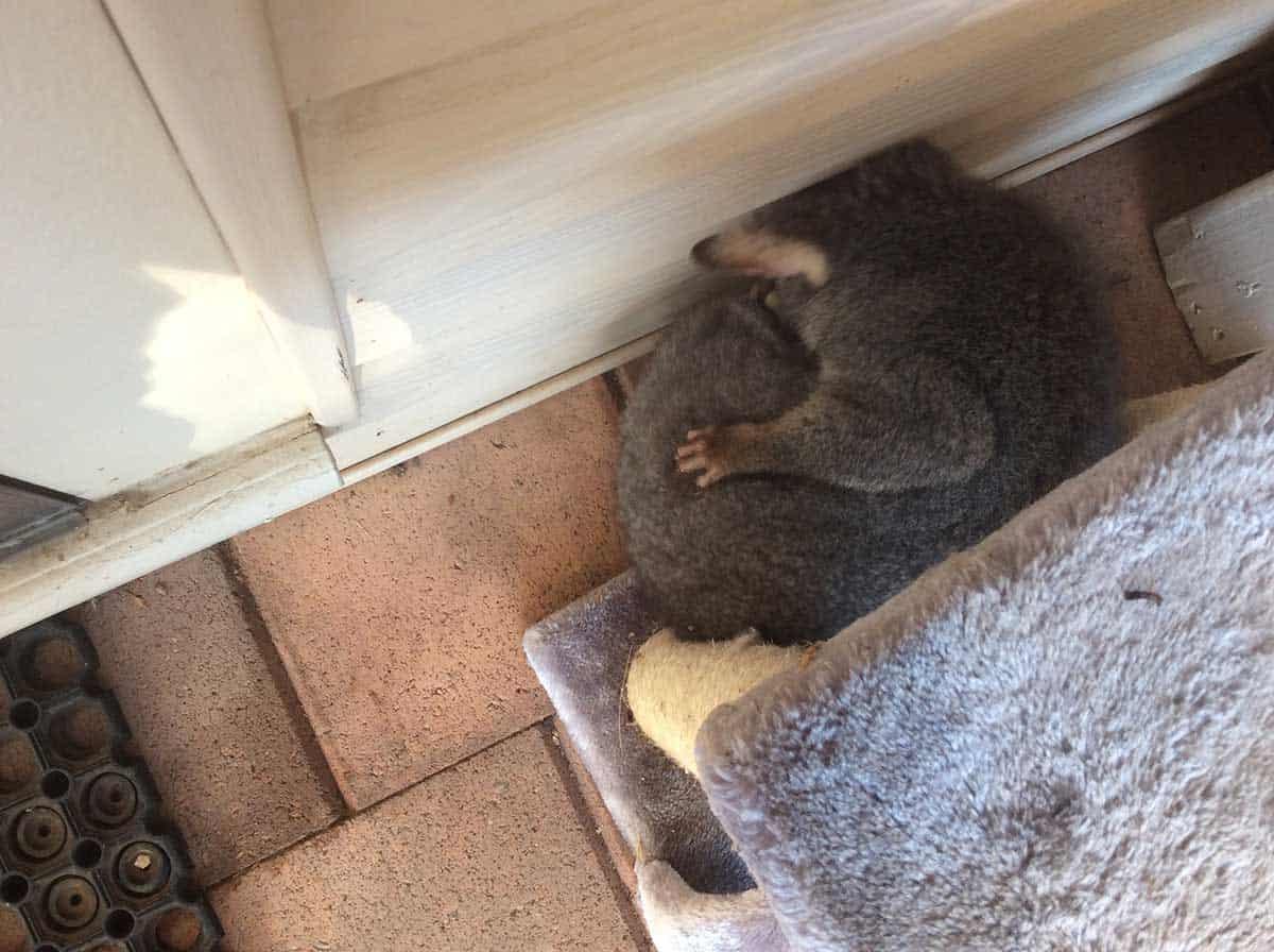 Australian brush tail marsupial possum sleeping