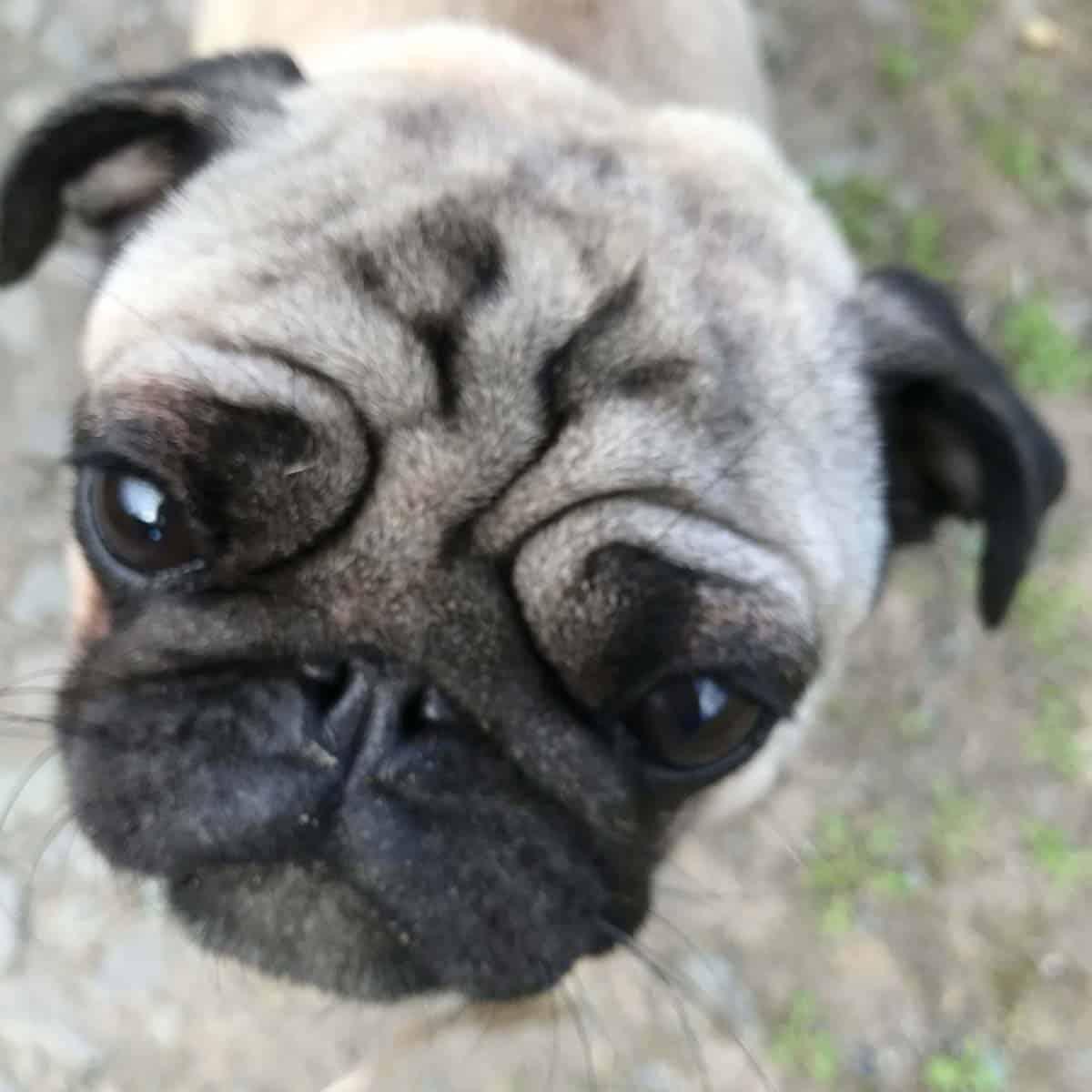 Missy the pug