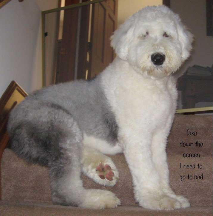 Baily the Old English Sheepdog
