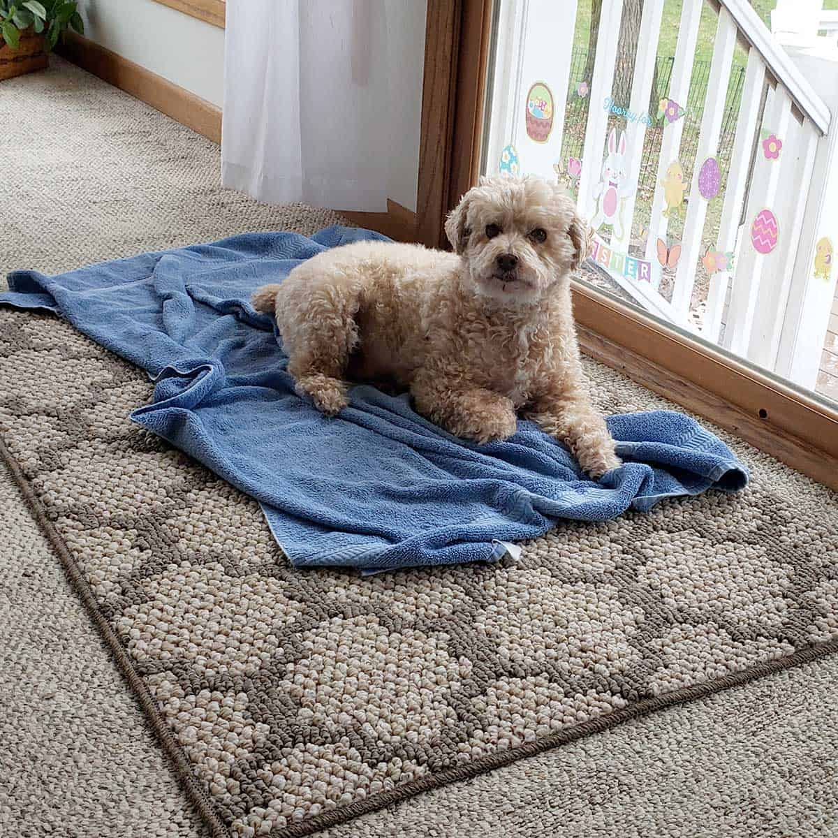 Mickey the dog on a towel