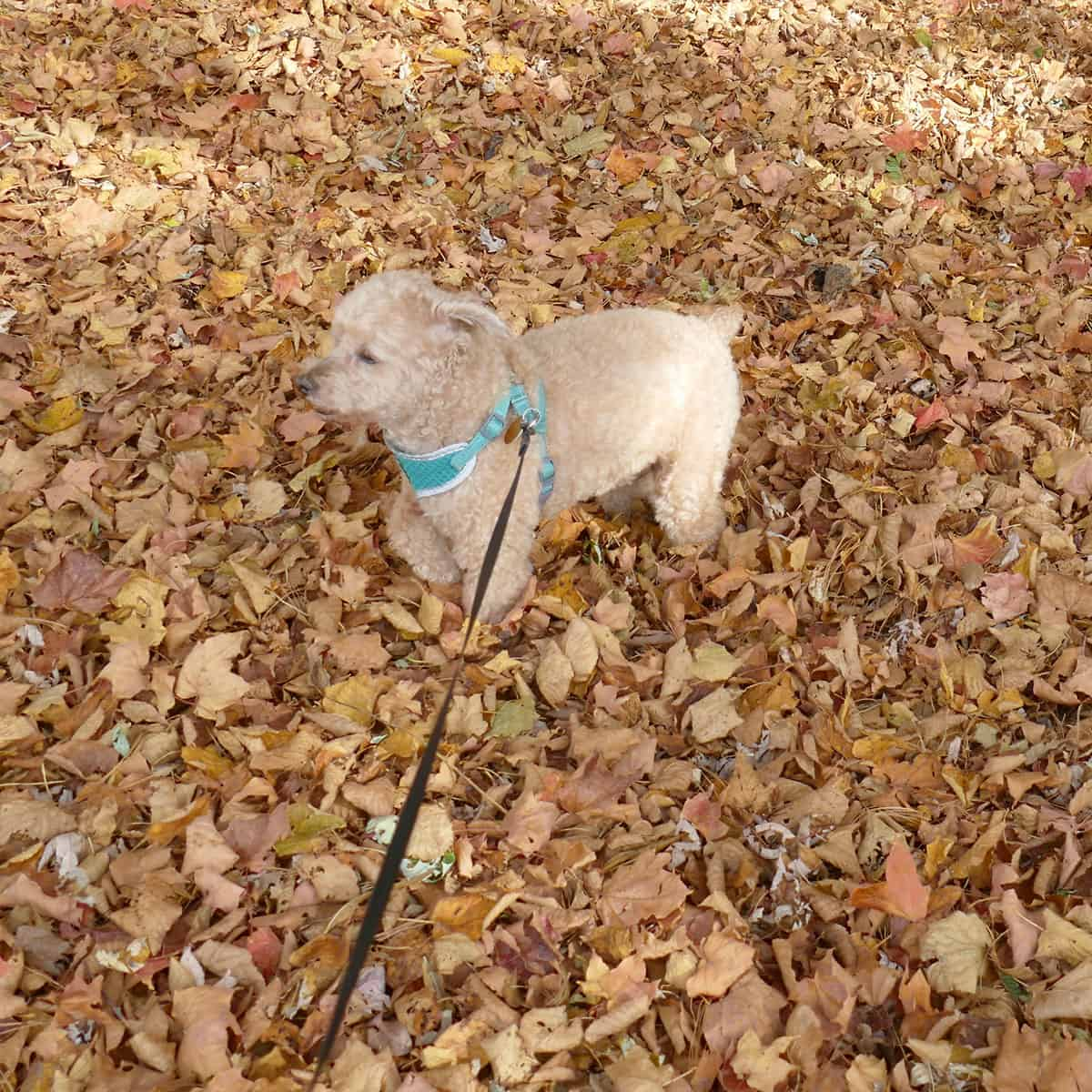 Mr. Mickey in the leaves