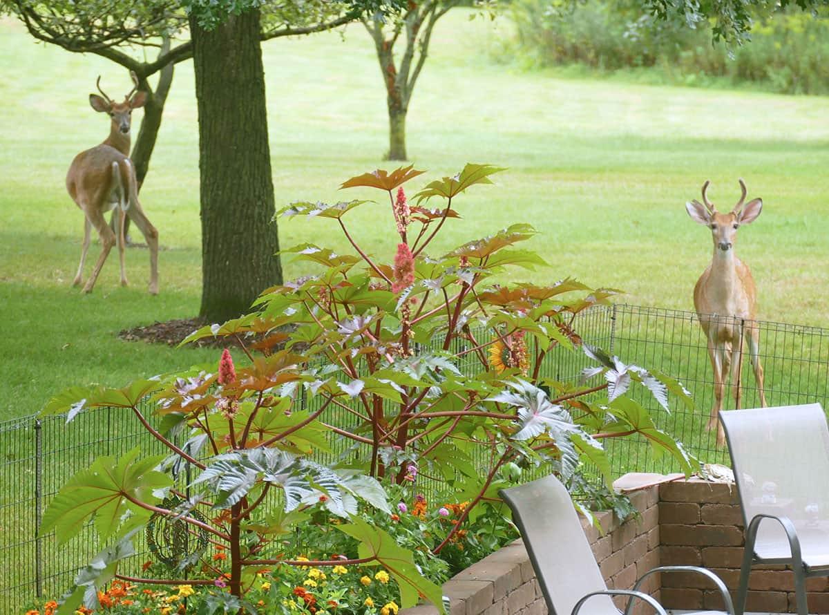 2 Buck deer under oak tree
