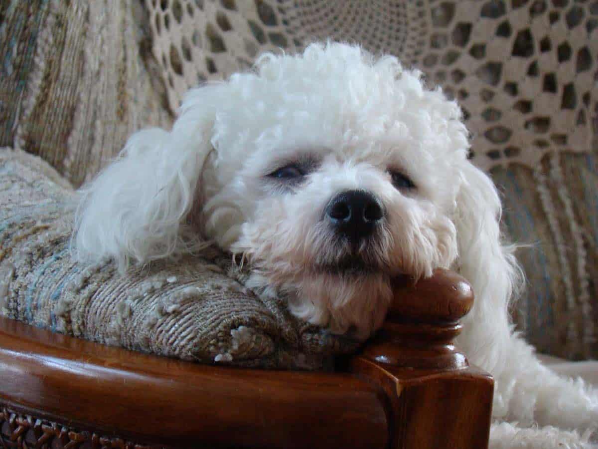Buddy Bishon Frese dog