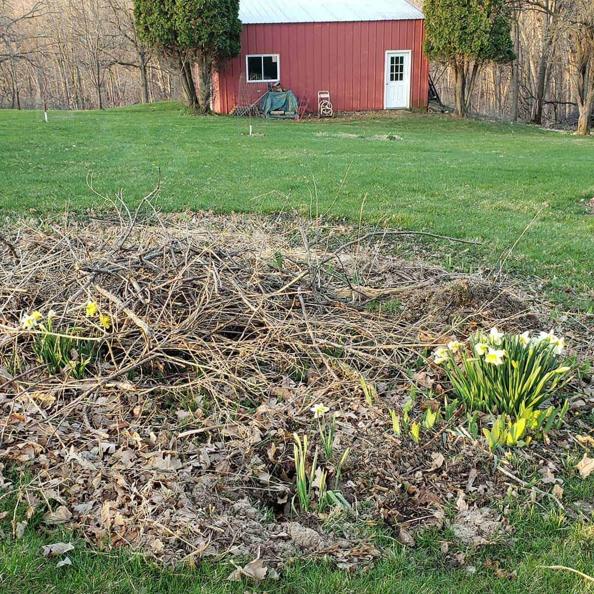 Daffodils in yard