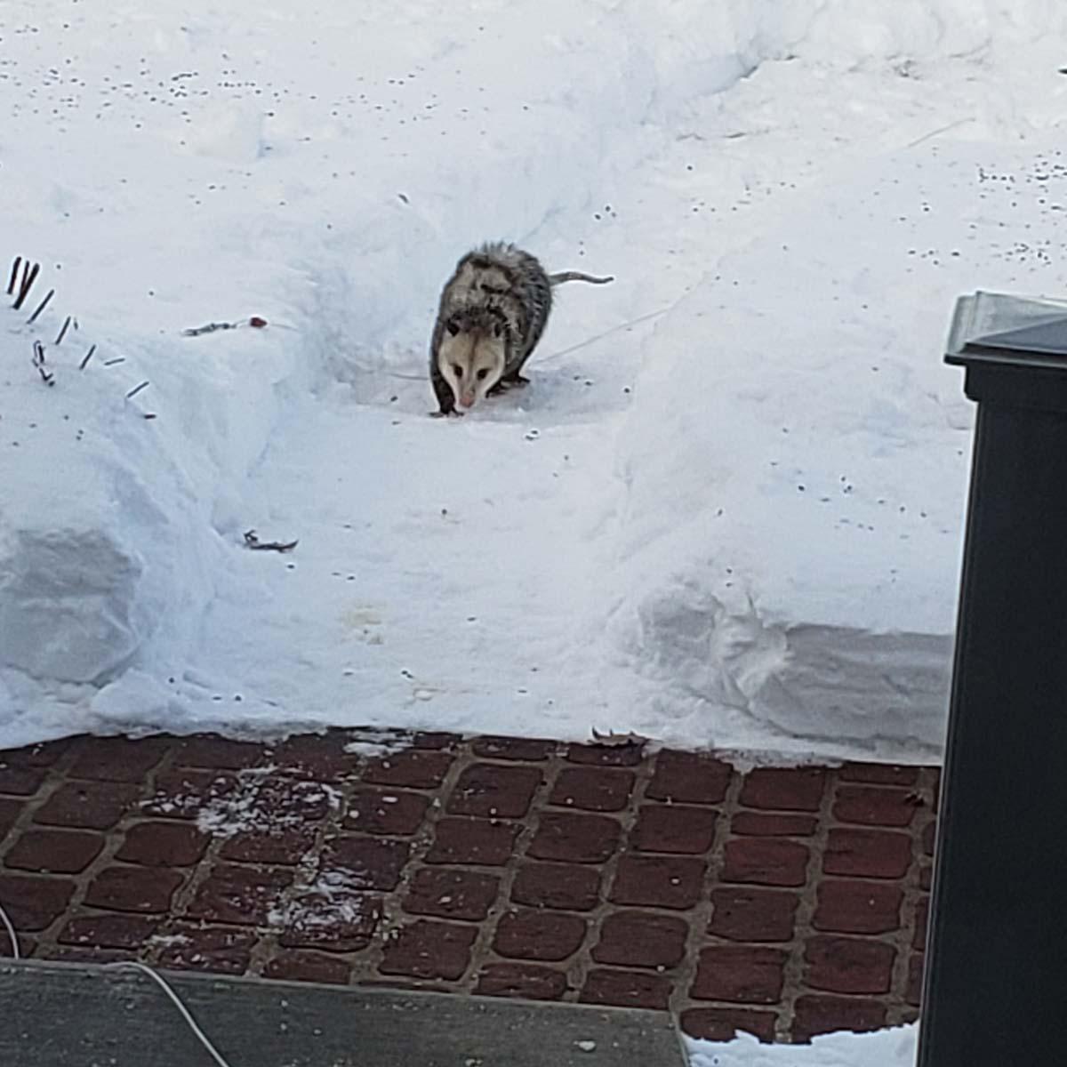 Opossum walking by front door