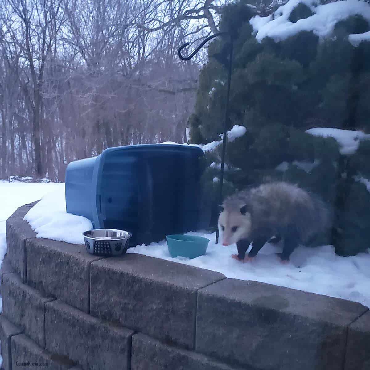 opossum eating out of cat bowl